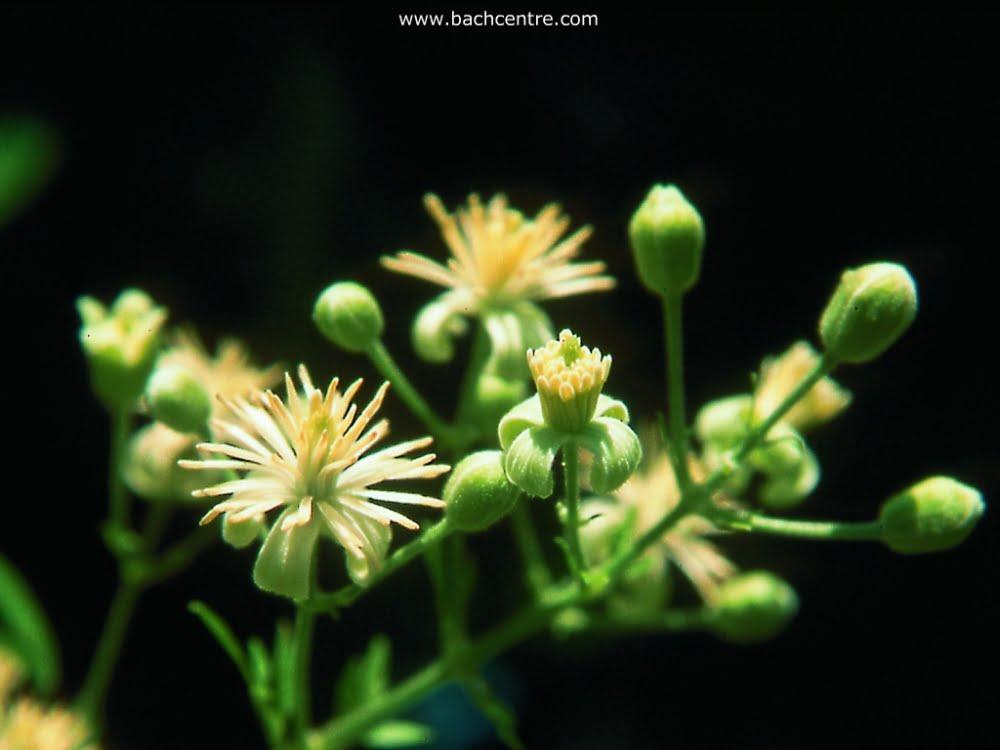 Fleur de clématis