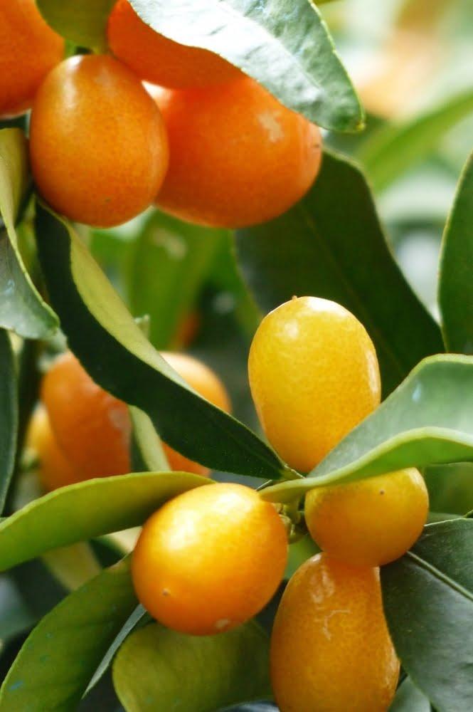 kumquats-357895_1280