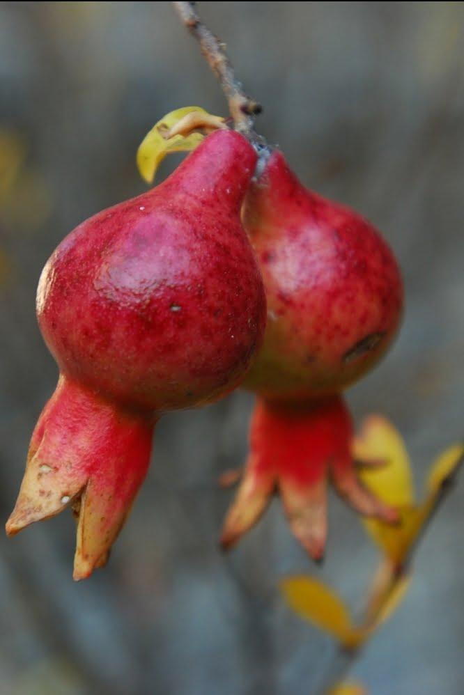 pomegranate-529253_1920